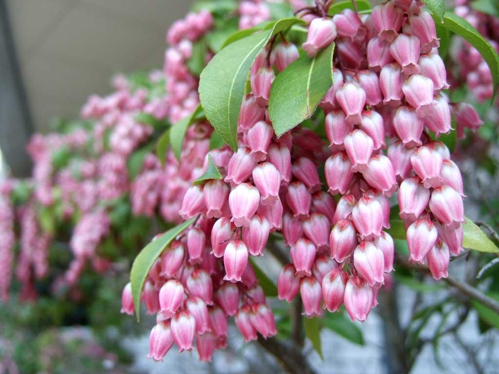 「アセビの花フリー写真」の画像検索結果