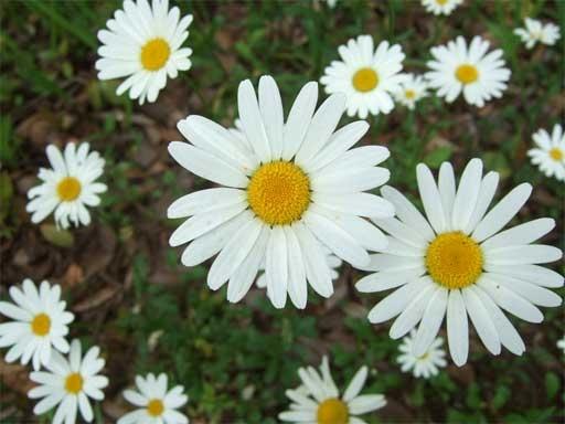 マーガレット (植物)の画像 p1_23